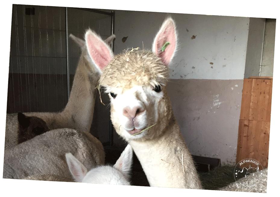 Alpakahof Ausham - Freizeit und Produkte mit und von Alpakas