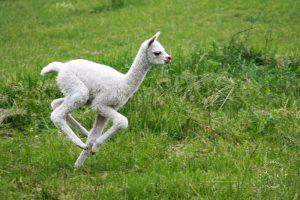 Unser erstes Alpaka-Baby ist da: Alexa! Alpakahof Ausham - Freizeit und Produkte mit und von Alpakas